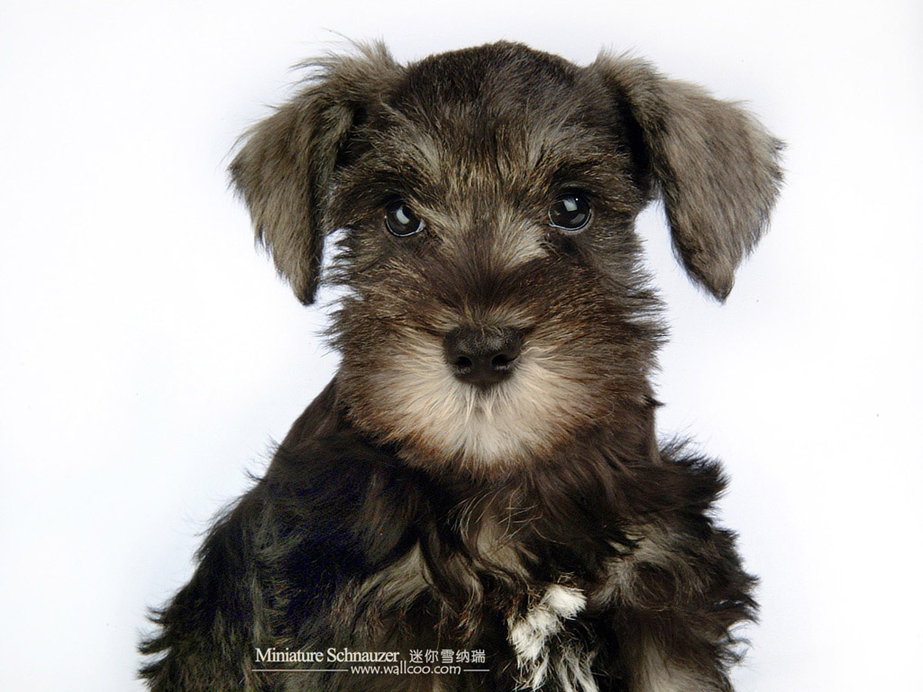 宠物狗狗迷你雪纳瑞 - pet dog : miniature schnauzer puppies