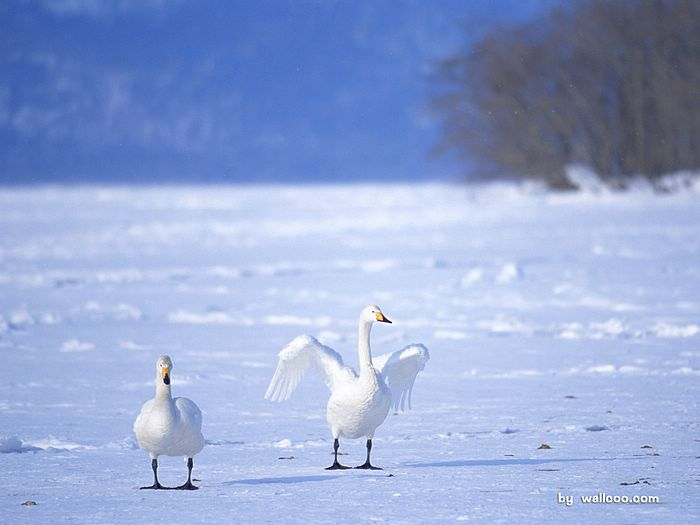雪地白天鹅图片 White Swan Photo Desktop11