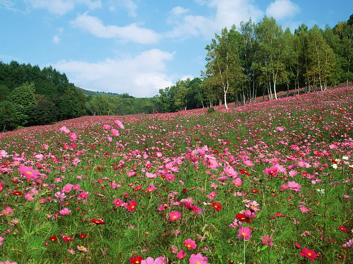 http://wallcoo.com/flower/cosmos/images/%5Bwallcoo_com%5D_cosmos_FLOWER_PICTURE_EZ143.jpg
